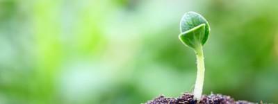 Keimling der aus der Erde wächst
